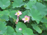 lotus is best.
