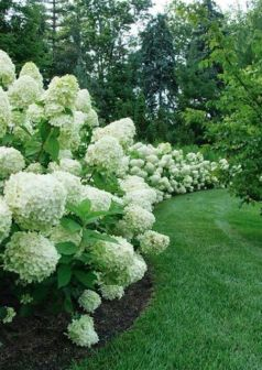 oak leaf hydrangea hedge