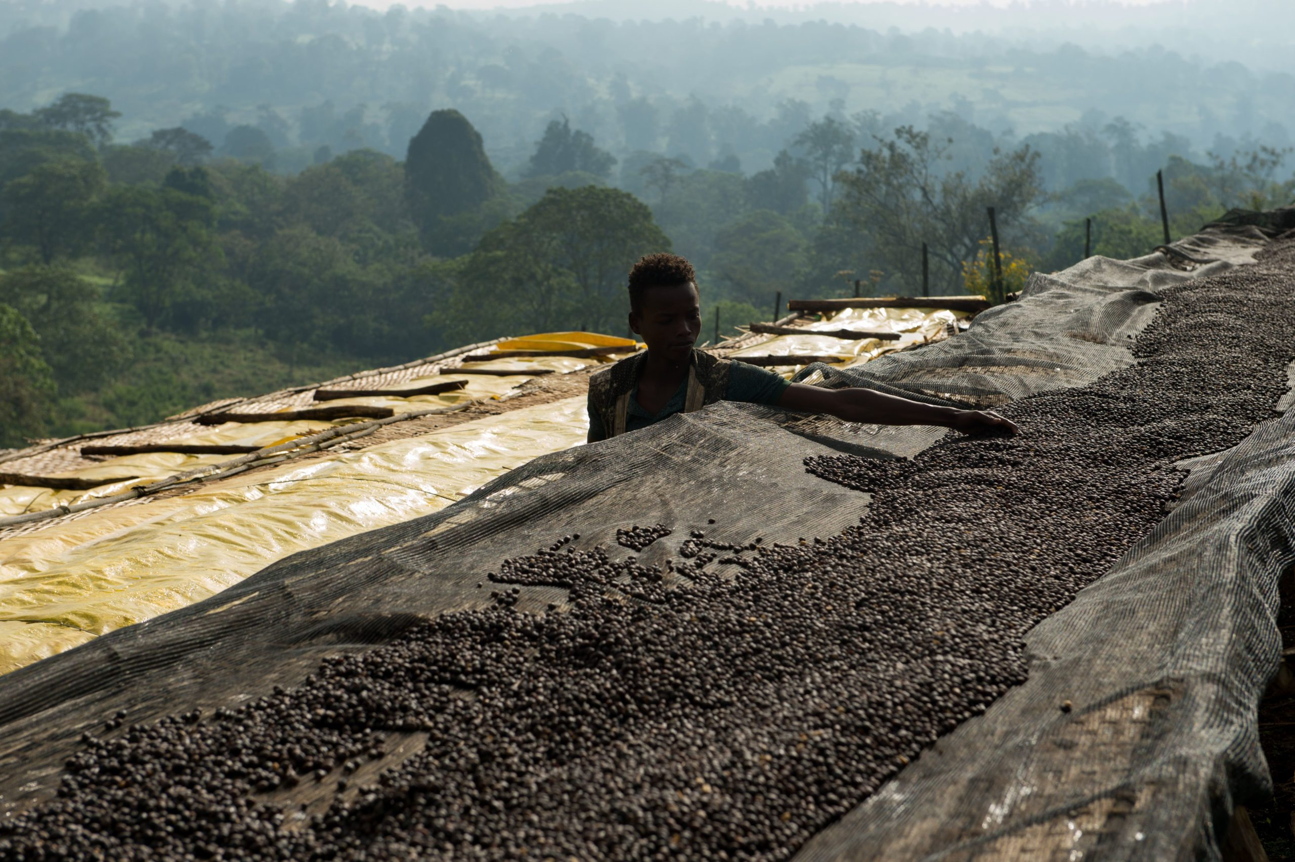 Natural coffees drying in Ethiopia