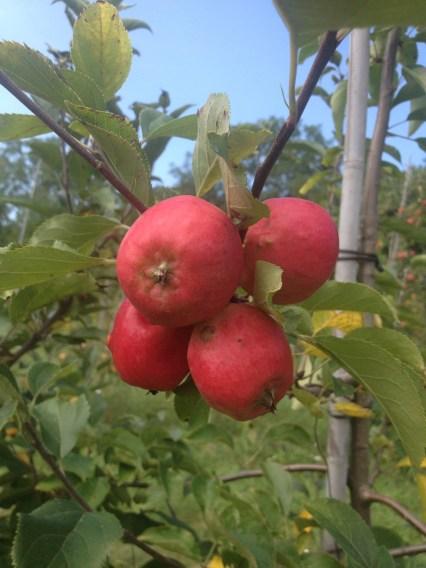 searsburg cherry bomb