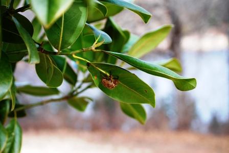 blog-magnolia-bug.jpg