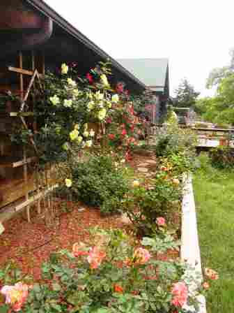 Back View of the rose border in 2008. Sadly, many of my roses have succumbed to Rose Rosette Disease.