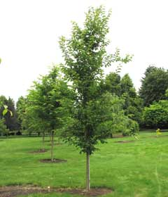 Emerald Sunshine Elm