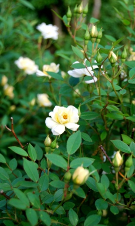 'Jefferson' rose