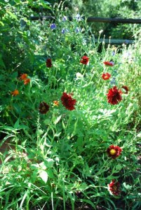 Gaillardia 'Burgandy' in the small meadow