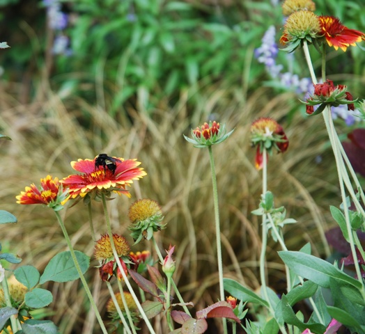 Bumblebee on Gaillardia in the fall garden.