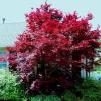 Yes, You Can Grow A Japanese Maple In Oklahoma