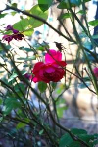 Sophys Rose