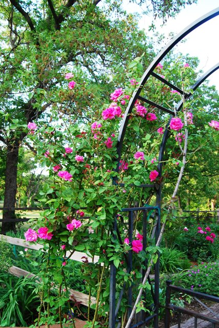 'Zephirine Droughin' clambering up the garden's entry arbor.