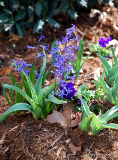 H. orientalis albulus, Roman Blue Hyacinth