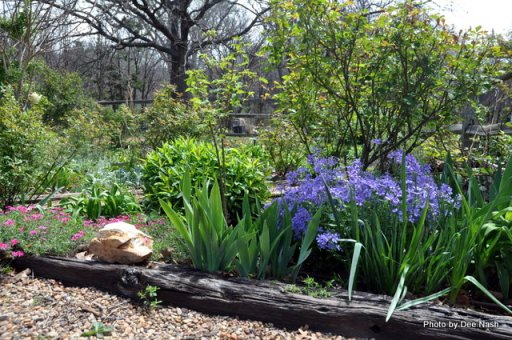 The Phlox subulata and Phlox divaricata are still blooming although most of the daffodils are gone.