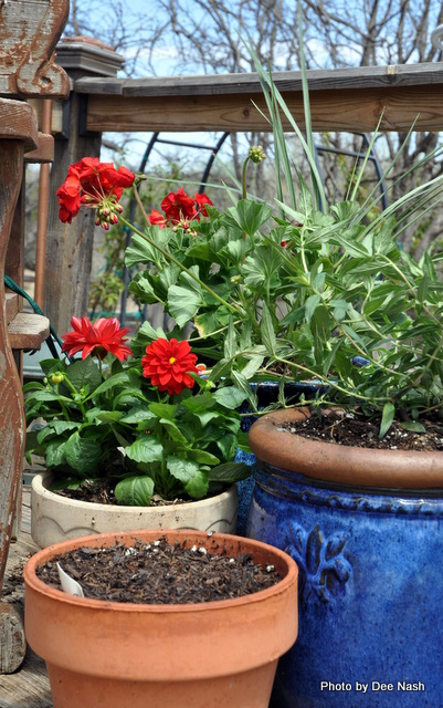 Red Pelargonium, bat-faced cuphea and the dwarf dahlia 'Dahlinova'; the empty pot in front has basil seeds in it.
