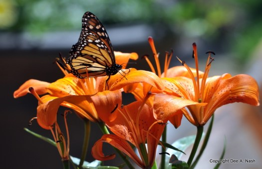 Butterflies appreciate trumpet shaped flowers