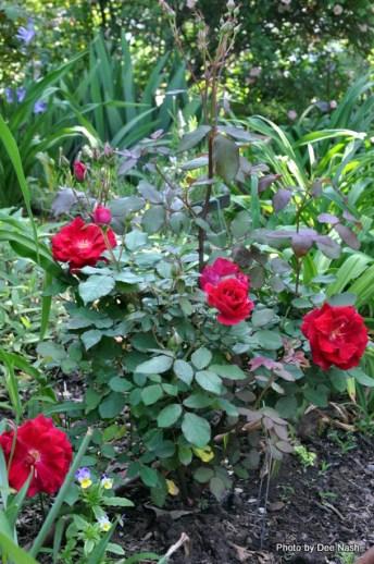 Rosa 'Valentine'