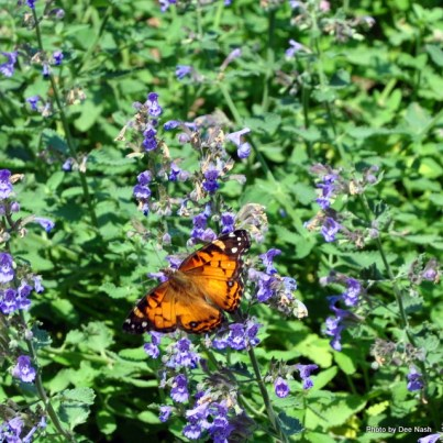 A butterfly in the catmint is busy about her business.