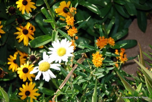 Rudbeckia, 'Becky' shasta daisies and butterfly weed
