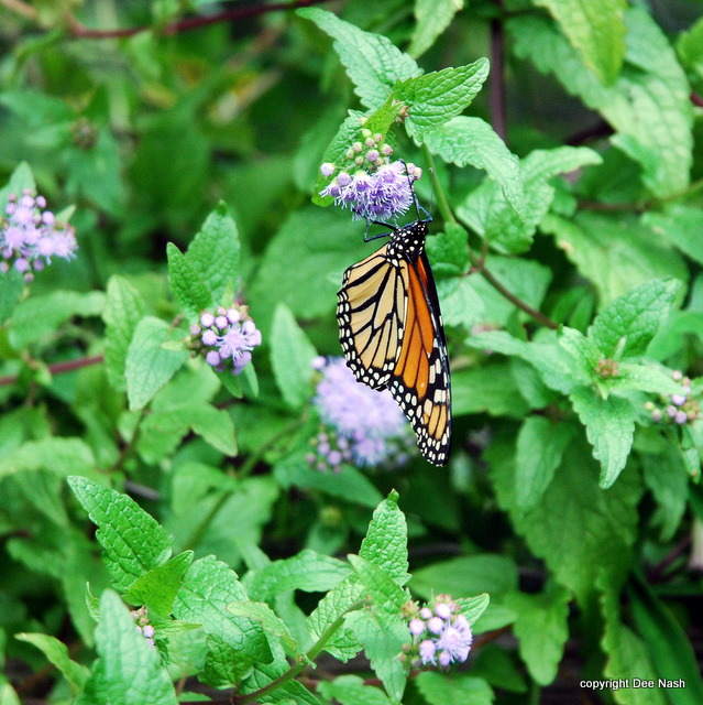 Monarch feeding on wild, blue ageratum