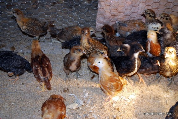 The chicks are teenagers now, or at least middle schoolers.  They have the same attitude too.