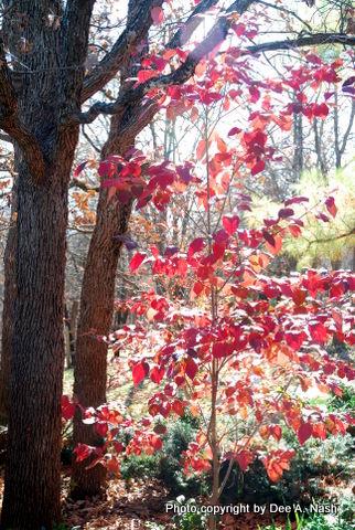 Cornus florida 'Cherokee Chief' (dogwood)