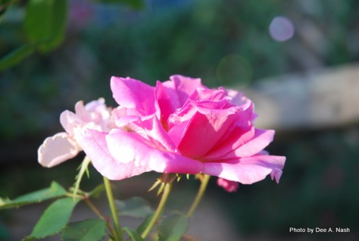 An open bloom of 'Carefree Beauty' rose.