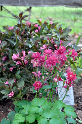 Double columbine with 'Wine and Roses' Weigela behind it
