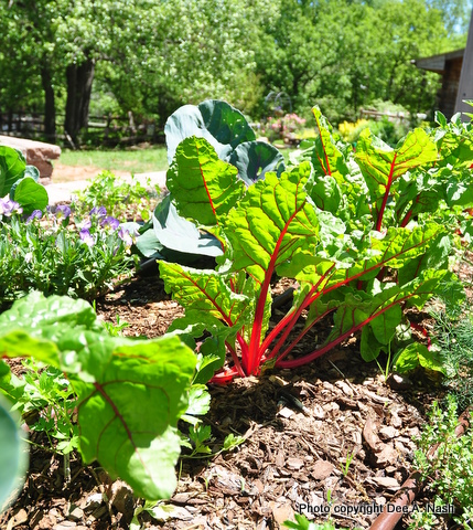 Red chard is beautiful, tasty and good for you.