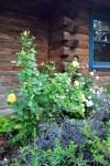 R. 'Graham Thomas' planted above and behind Sambucus nigra 'Eva' pp15,575 (Black Lace Elderberry.)