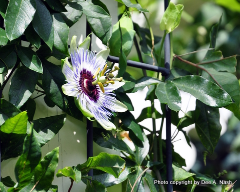 Passiflora caerulea, hardy blue passion flower. Native flowers perform double duty.