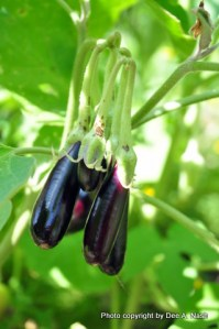 Little Fingers eggplant. They are very, very small.