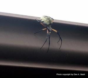 Araneidae, Golden Orb Weaving spider, pregnant.