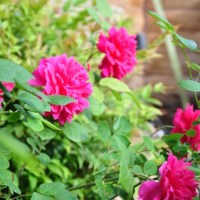 How did the test David Austin roses perform in my Oklahoma climate?