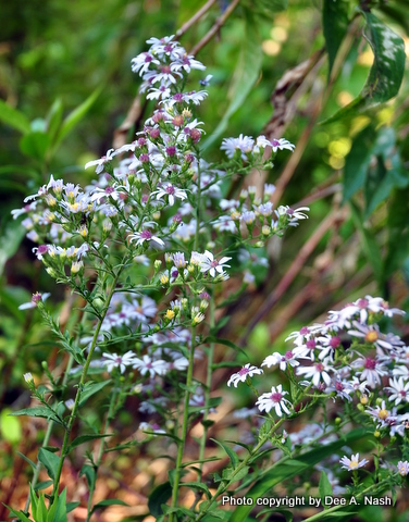 I really think it's Drummond's aster that is my aster problem. This photo is from 2010, but it spread everywhere.