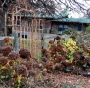 Hydrangea arborescens 'Annabelle' in November.