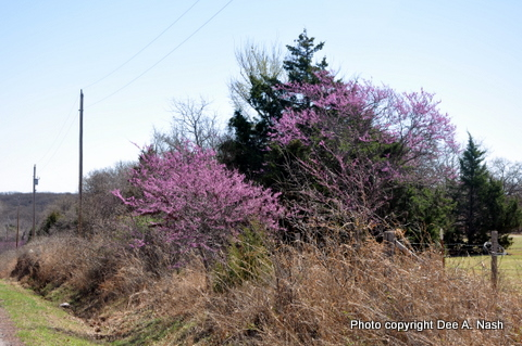 I like to think redbuds like people too because they often grow along our roads and near our rural homes.