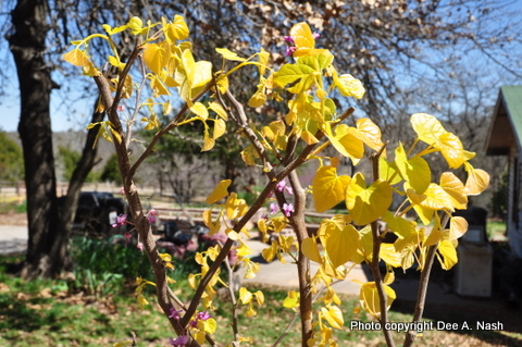 A closeup of the golden spring leaves of The Rising Sun™ redbud from 2011.