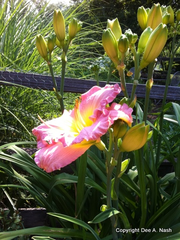 Hemerocallis 'Blue Pink Beauty' looks good against the fence and grass behind her.