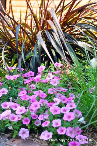 Pennisetum 'Princess Caroline' (grown as an annual in OK), Vista Bubblegum Pink petunia and a grass that was supposed to be Pennisetum alopecuroides 'Hameln' (perennial dwarf fountain grass), but isn't.  This photo was from 2011 when we had the terrible heat wave.
