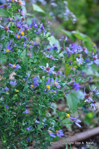 Symphyotrichum laevis 'Bluebird