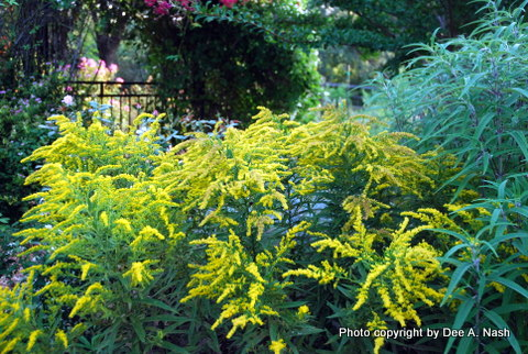 "Solidago spp., goldenrod. is native to the southern U.S. including Oklahoma and was used by the Cherokee for ""flux"" and tuberculosis."