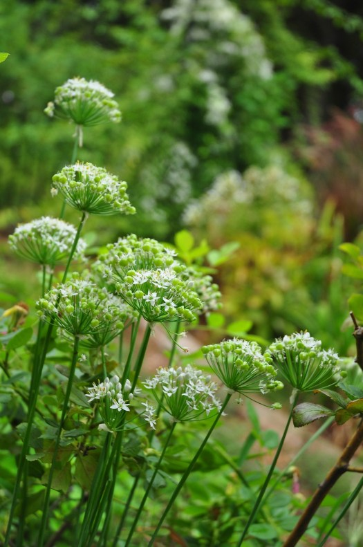 Allium tuberosum (garlic chives) garden mistakes