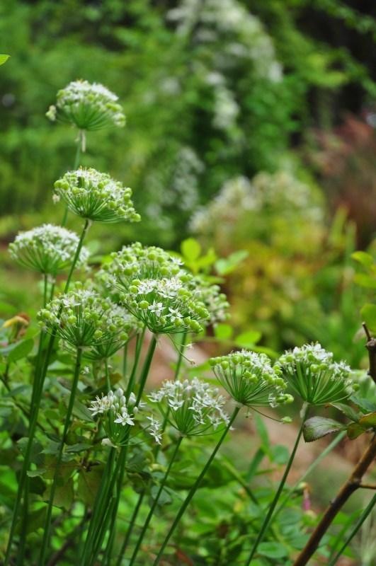 Allium tuberosum (garlic chives) garden mistakes