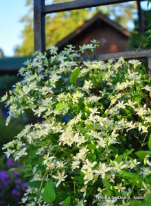 Of course autumn clematis is thriving. It is impossible to kill.