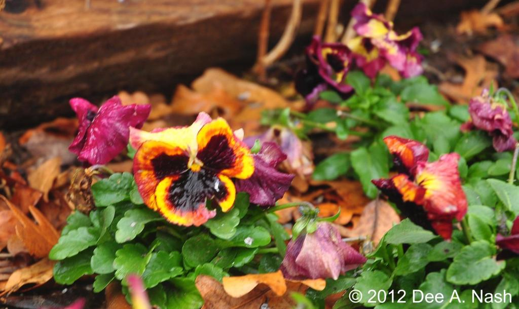 Viola x wittrockiana 'Delta Tapestry' because pansies and violas are great during false spring.