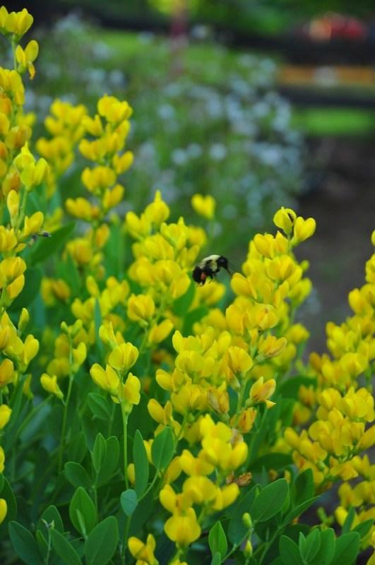 Baptisia sphaerocarpa 'Screamin' Yellow' with bumblebee