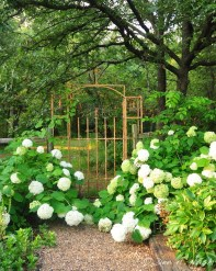 Hydrangea arborescens 'Annabelle' at the garden gate. Easy-to-grow, but hard to find in nurseries. As for it.