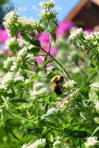 Bumblebee on mountain mint, a native which is very pollinator friendly.