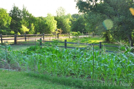 The vegetable patch at the beginning of July, 2012
