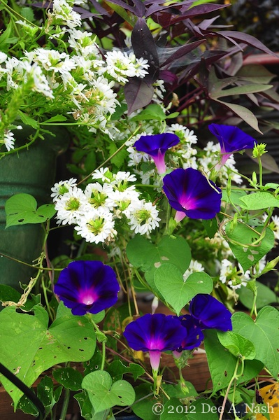 'Grandpa Otts' morning glory climing into Whirlwind White fan flower (scaevola) with 'Blackie' sweet potato vine behind.