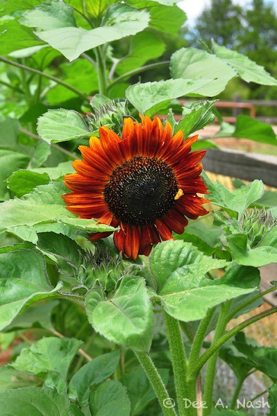 Sunflower, part of the Autumn Beauty mix.