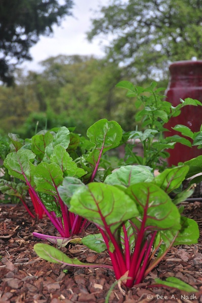Swiss chard and red fountain early last spring